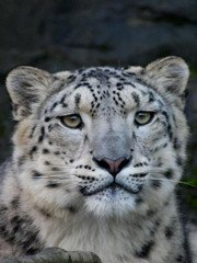Snow Leopard Tracking in Ladakh