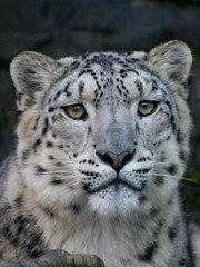 Big cat watching holidays for snow leopards in the Himalayas