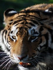 Siberian tiger watching tour
