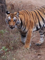 Tiger safari and tiger watching in India