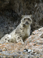 Snow leopard mating on film