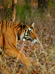 Tiger conservation and safaris in Nepal