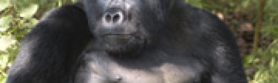 New population of gorillas discovered in Cameroon