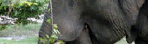 The Sri Lankan Elephants That Got Away