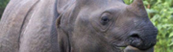 Increase in One Horned Rhino Populations