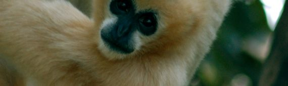 New Gibbon Species Discovered