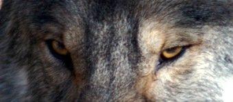 Wolf watching