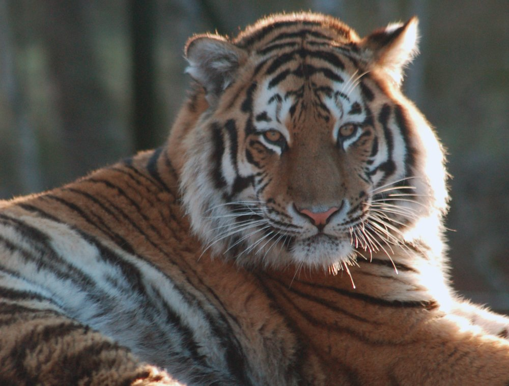 Siberian Tiger Tracking Holiday | Spaces Available on ...