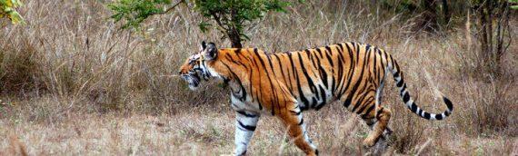 Kanha Tiger Safari Holiday – India's Best National Park for Predators