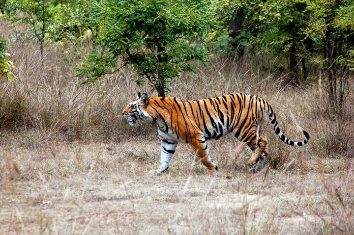 Tiger watching holidays and Tiger safaris of India