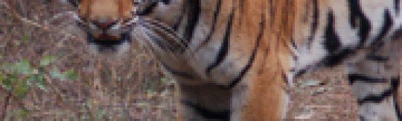 Male Tiger Heading into Jungle to Collect Kill