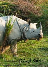 Safaris in kaziranga for rhinos, elephants and maybe tigers