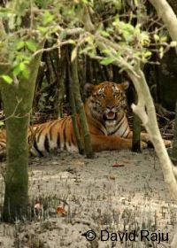 Tiger Sunderbans cruise searching for wildlife on this safari holiday