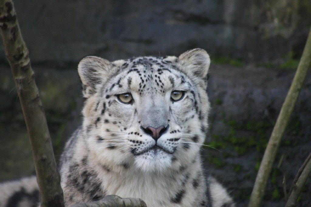 Snow leopard tracking holidays of Ladakh and India