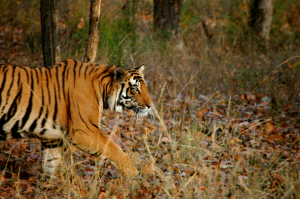 Increasing Tiger numbers in Chitwan, Nepal