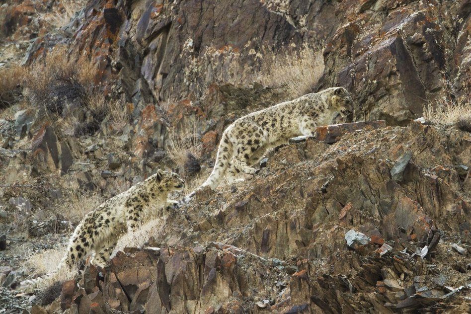 Guiding snow leopard watching