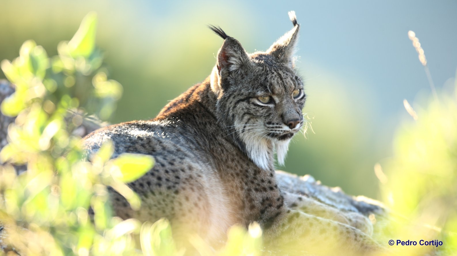 Iberian Lynx Watching holidays