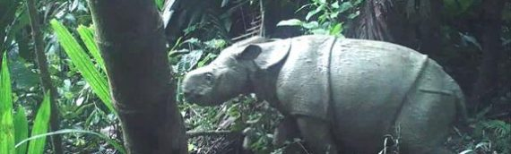 Javan Rhino Numbers Boosted By Two New Babies