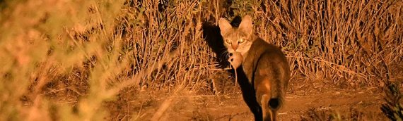 African Wild Cat Sighting in Namibia
