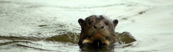 Giant Otters – Back in Argentina!!