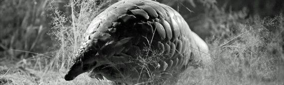 Pangolin Conservation News