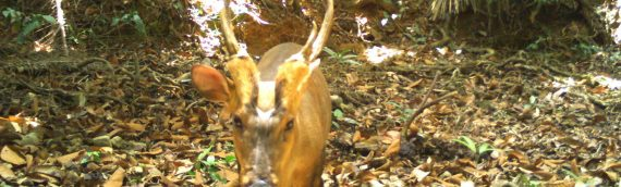 Conservation Success in Cambodia – Amazing Large-antlered Muntjac Sighting
