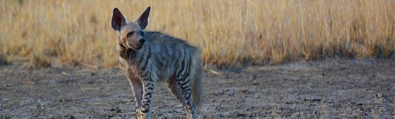 Striped Hyena Conservation in Lebanon