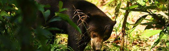 Borneo's Rare Mammals Tour – Availability for 2022