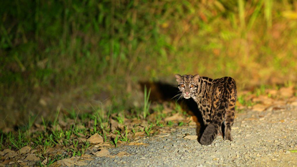 Sunda Clouded Leopard - Sabah, Malaysia