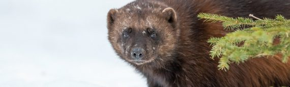 Wolverine Photography Tour May 2022 – Spaces Available