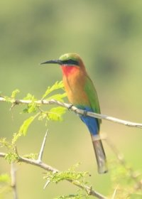 african-bee-eater
