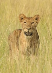 african-lion-(28)