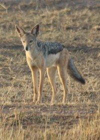 black-backed-jackal-(1)