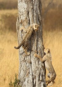 cheetah-(11)