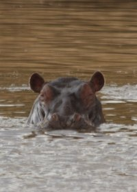 common-hippo-(1)