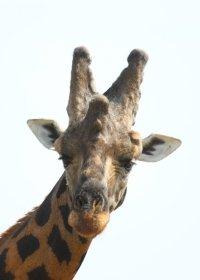 northern-giraffe-(4)