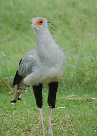 secretary-bird-(3)