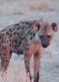 spotted-hyena-(8)