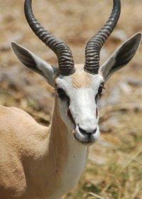 springbok-(2)